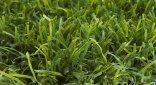 דשא סינטטי עלית סדרת אקו