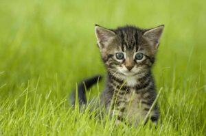 דשא סינטטי חתול