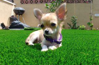 דשא סינטטי לכלבים